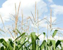 corn-tassels-cropped