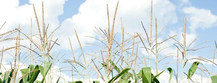 corn-tassels-long